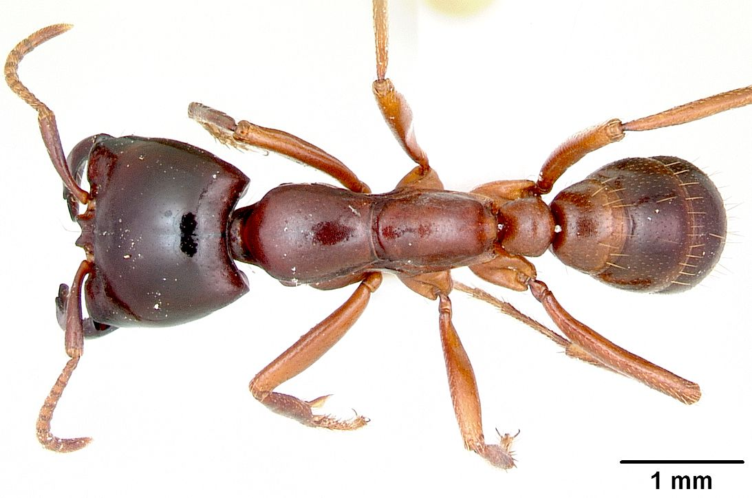 ANT ROBOT JAWS BITE TEETH MANDIBLES OFFENSIVE AND DEFENSIVE WEAPONRY