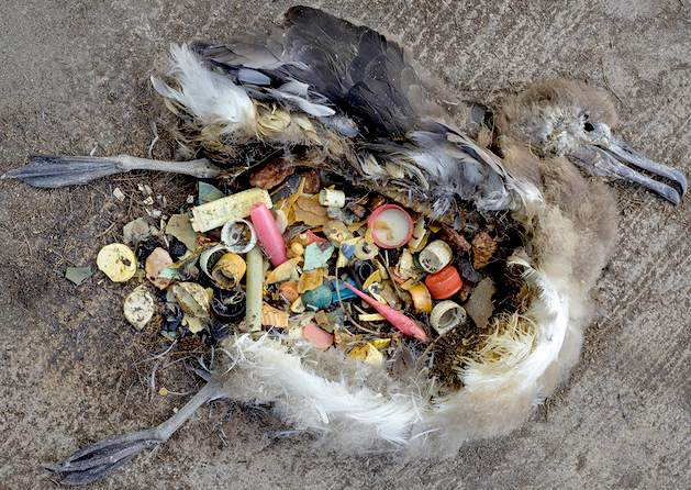 The pacific garbage patch and Albatrosses: Free Video and