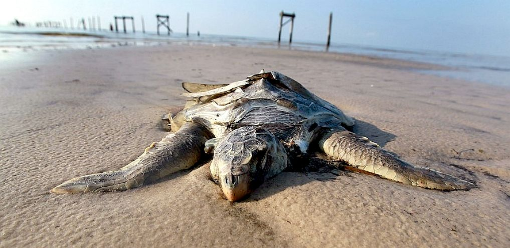 the deepwater horizon oil spill and New oceana report highlights long-term impacts of deepwater horizon oil disaster group says opening new areas to offshore drilling poses dangerous and unacceptable risks, calls for long-awaited reform on six year anniversary of gulf oil spill.