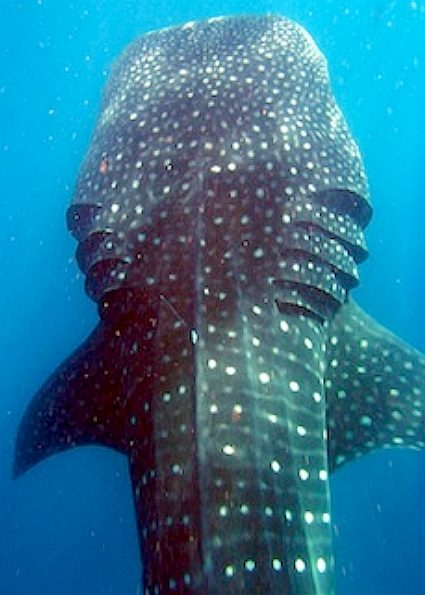Whale shark gills picture 1